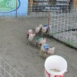 Watching the Pig Race's
