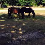 Beautiful New Forest horses.