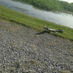 Small alligator catching a few rays
