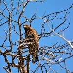Juvenile bald eagle near Paradise Gateway B&B