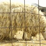 very hot looking sheep from australia