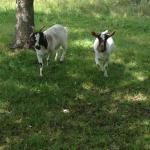 Enjoy feeding, petting and just watching the Lodge goats. They are so cute