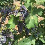 Grapes on nearby vines