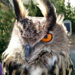 Wally - Eurasian Eagle Owl