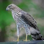 Cooper's Hawk, Ramsey Canyon Inn