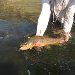 two foot long brown trout
