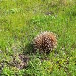Found this little echidna strolling around the camp grounds