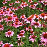 Purple conehead or echinachea in flower