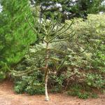 One of the monkey puzzle trees