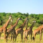 The resident herd of giraffes just beside the camp