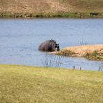 hippos in the pond