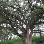 beautiful old burr oak