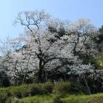 Myojozakura
