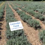 Steed & Company Lavender