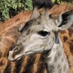 Cute baby giraffe in Kruger