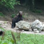 Bear seen on the bear watch in the deep forest
