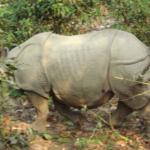 Rhino spotted during elephant ride