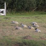 Ovelhas no pasto, vista da varanda