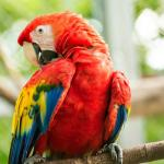 24 scarlet macaws are flying free in the skies of Manuel Antonio thanks to the reintroduction pl