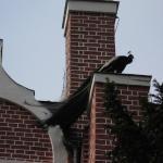 Ein Pfau hat sich Ecker des Gotischen Hauses als Landeplatz ausgesucht