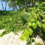 Grape vines growing on the sand dunes