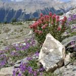 Alpine Fireweed and Indian Paintbrush in the foreground with the lodge behind.