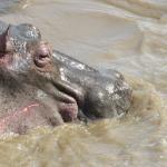 Hippo in river near Duma Camp