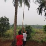 Coconut Plucking