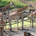 Girafes et girafons