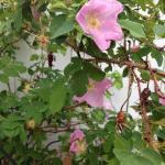 Wild rose - Alberta's Provincial flower - in our garden