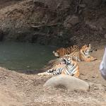 Photo of Tiger Safari Resort