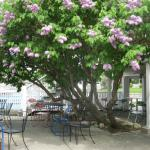 "Beautiful lilac ""tree"" shades outside seating area."