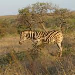 Ubizane wild life - hotel is in middle of the park