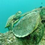 Heron Island turtles on the Great Barrier Reef