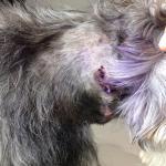 Nos llevamos una muy mala experiencia. El perro de la dueña mordió gravemente a nuestro schnauzz
