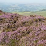 Heather in bloom on Hathersage Moor near North Lees Hall