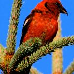 Whitewinged Crossbill