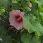 Hollyhocks in bloom at Aggie's B&B