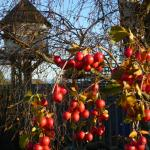 The dove cote vewied through the ruby red crab apples.