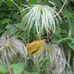 Dr suess's lorax hides in her garden, ok its a clamitis