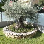 pianta di ulivo posta nel giardino