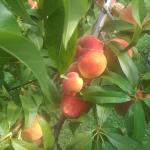 On property peaches