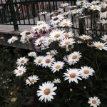 Daisies at the library