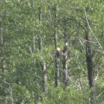 a pair of bald eagles we saw on the float
