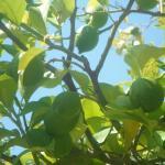 Sorrento lime trees