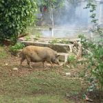 Pigs roaming 'everywhere' in the local streets
