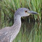 young blue heron in marsh..........soo cute