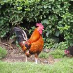 Maddybenny chicken