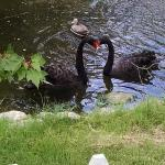 Black Swans are residents of the manor.