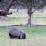 Wombat on the farm